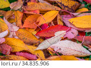 Colorful autumn red purple and yellow leaves on the ground in the park. Стоковое фото, фотограф Zoonar.com/Pawel Opaska / easy Fotostock / Фотобанк Лори