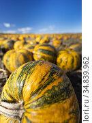 Pumpkin near Retz in Weinviertel, Lower Austria, Austria. Стоковое фото, фотограф Richard Semik / easy Fotostock / Фотобанк Лори