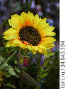 Decorative sunflowers in a floor vase. Стоковое фото, фотограф Марина Володько / Фотобанк Лори
