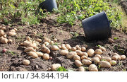 Image of harvest of potatoes and rows in field in garden outdoor, no people. Стоковое видео, видеограф Яков Филимонов / Фотобанк Лори