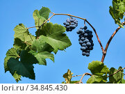Bunch of ripe grapes on a vine. Стоковое фото, фотограф Евгений Харитонов / Фотобанк Лори