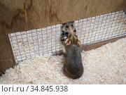 European hamsters (Cricetus cricetus) interacting through fenced enclosure setup to determine if the hamsters are ready to mate, part of a breeding program... Стоковое фото, фотограф Edwin Giesbers / Nature Picture Library / Фотобанк Лори
