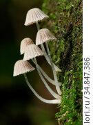 Mushroom, Fungi, on tree trunk, borneo. Стоковое фото, фотограф Chew Chun Hian / age Fotostock / Фотобанк Лори
