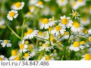 Camomille flowers grow at wild summer meadow. Стоковое фото, фотограф Zoonar.com/Serghei Starus / easy Fotostock / Фотобанк Лори