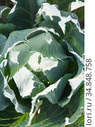 White cabbage in the garden. Close up on Fresh cabbage in harvest field. Cabbage are growing in garden. Organic vegetable on the farm. Стоковое фото, фотограф Nataliia Zhekova / Фотобанк Лори