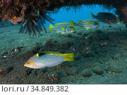 Checkerboard Wrasse (Halichoeres hortulanus) with trio of Oriental... Стоковое фото, фотограф Colin Marshall / age Fotostock / Фотобанк Лори