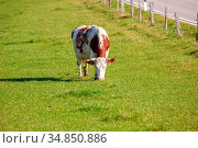 An image of a cow in the green grass. Стоковое фото, фотограф Zoonar.com/magann / easy Fotostock / Фотобанк Лори