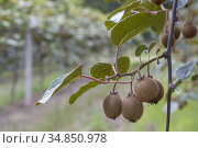 Orchard with kiwi in Marche, Central Italy. Стоковое фото, фотограф Richard Semik / easy Fotostock / Фотобанк Лори
