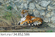 Siberian tiger (P. t. altaica), also known as Amur tiger, resting. Стоковое фото, фотограф Валерия Попова / Фотобанк Лори
