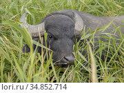 Water buffalo grazing in the reeds. Orlovka village, Reni raion, Odessa oblast. Стоковое фото, фотограф Некрасов Андрей / Фотобанк Лори