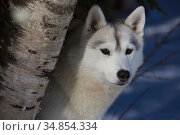 Siberian Husky in snow, peering from behind birch tree, Massachusetts, USA. Стоковое фото, фотограф Lynn M. Stone / Nature Picture Library / Фотобанк Лори