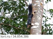 Sri Lankan giant squirrel (Ratufa macroura melanochra) Sri Lanka. Стоковое фото, фотограф Robin Chittenden / Nature Picture Library / Фотобанк Лори