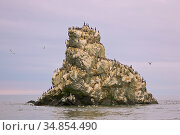 Seabird colony on off-shore rocks in the Bering Sea near Verkhoturova Island, Russia. The nesting species include common and Brunnich's guillemots... Стоковое фото, фотограф Jenny E. Ross / Nature Picture Library / Фотобанк Лори