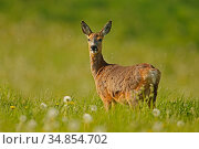 Roe deer (Capreolus capreolus) in late spring meadow , UK. Стоковое фото, фотограф Andy Rouse / Nature Picture Library / Фотобанк Лори