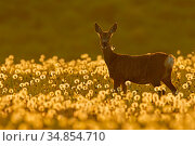 Roe deer (Capreolus capreolus) amongst dandelion seed heads at sunset... Стоковое фото, фотограф Andy Rouse / Nature Picture Library / Фотобанк Лори