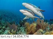 Pair of Caribbean reef sharks (Carcharhinus perezi) swim over a coral reef. Jardines de la Reina, Gardens of the Queen National Park, Cuba. Caribbean Sea. Стоковое фото, фотограф Alex Mustard / Nature Picture Library / Фотобанк Лори