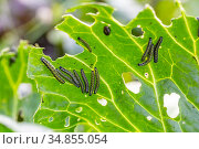 The caterpillar larvae of the cabbage white butterfly eating the leaves of a cabbage. Стоковое фото, фотограф Ольга Сейфутдинова / Фотобанк Лори