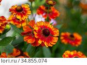 Close-up view of helenium flowers on blurred green background. Стоковое фото, фотограф Ольга Сейфутдинова / Фотобанк Лори