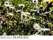 Das Gänseblümchen ist eine weitverbreitete robuste Pflanze, die als... Стоковое фото, фотограф Reinhold Rauschenbach / age Fotostock / Фотобанк Лори