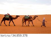 Beduin with dromedaries in the Moroccan desert. Стоковое фото, фотограф Philippe Lissac / Godong / age Fotostock / Фотобанк Лори