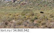 Wildebeest grazing on grassland 4k. Стоковое видео, агентство Wavebreak Media / Фотобанк Лори