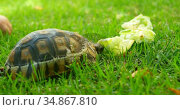 Tortoise eating food in home yard 4k. Стоковое видео, агентство Wavebreak Media / Фотобанк Лори