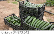 Ripe zucchini in boxes on a farm field. Harvesting. Стоковое видео, видеограф Яков Филимонов / Фотобанк Лори