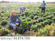 Male farmer harvesting savoy cabbage on farm. Стоковое фото, фотограф Яков Филимонов / Фотобанк Лори
