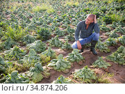 Farmer frustrated by loss of cabbage harvest after drought. Стоковое фото, фотограф Яков Филимонов / Фотобанк Лори