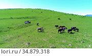 Flight over wild horses herd on mountain meadow. Summer mountains wild nature. Freedom ecology concept. Стоковое видео, видеограф Александр Маркин / Фотобанк Лори