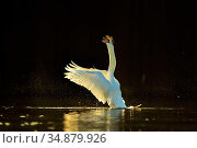 Mute swan (Cygnus olor) stretching wings on water. In morning light, Wales, UK. February. Стоковое фото, фотограф Andy Rouse / Nature Picture Library / Фотобанк Лори