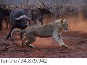 African lion, (Panthera leo) confronted by a herd of African buffalo / Cape buffalo (Syncerus caffer), Zimanga Private Nature Reserve, KwaZulu Natal, South Africa. Стоковое фото, фотограф Staffan Widstrand / Nature Picture Library / Фотобанк Лори