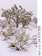 Joshua trees (Yucca brevifolia) and Mojave yuccas (Yucca schidigera) are drapped by a heavy blanket of snow. California. Mojave Natural Preserve, Mojave... Стоковое фото, фотограф Jack Dykinga / Nature Picture Library / Фотобанк Лори