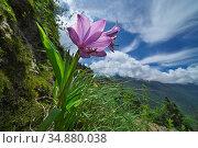 Flower (Notholirion macrophyllum) in mountain habitat, Mt Qomolangma National Park, Qinghai Tibet Plateau, China. Стоковое фото, фотограф Dong Lei / Nature Picture Library / Фотобанк Лори