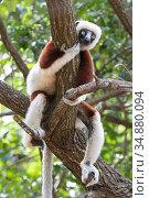 Coquerel's sifaka (Propithecus coquereli) in tree, relaxing, Ankarafantsika National Park, Madagascar. Стоковое фото, фотограф Bernard Castelein / Nature Picture Library / Фотобанк Лори