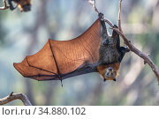 Grey-headed flying-fox (Pteropus poliocephalus) hanging from a branch with one wing spread, Yarra Bend Park, Kew, Victoria, Australia. Редакционное фото, фотограф Doug Gimesy / Nature Picture Library / Фотобанк Лори