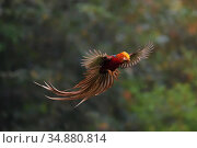 Golden pheasant (Chrysolophus pictus) male in flight, Yangxian nature reserve, Shaanxi, China. Стоковое фото, фотограф Staffan Widstrand / Wild Wonders of China / Nature Picture Library / Фотобанк Лори