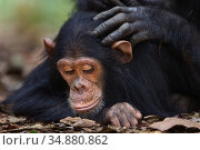 Eastern chimpanzee (Pan troglodytes schweinfurtheii) infant make 'Google' aged 5 years being groomed . Gombe National Park, Tanzania. September 2014. Стоковое фото, фотограф Anup Shah / Nature Picture Library / Фотобанк Лори