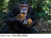 Eastern chimpanzee (Pan troglodytes schweinfurtheii) juvenile male 'Gimli' aged 10 years with wodges of fruit he is feeding on . Gombe National Park, Tanzania. May 2014. Стоковое фото, фотограф Anup Shah / Nature Picture Library / Фотобанк Лори