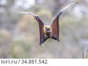 Grey-headed flying-fox (Pteropus poliocephalus) spotting and flaring wings to come in to land on a branch. Yarra Bend Park, Kew, Victoria, Australia. November 2019. Редакционное фото, фотограф Doug Gimesy / Nature Picture Library / Фотобанк Лори