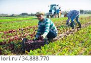 Male farmer picking red spinach on field. Стоковое фото, фотограф Яков Филимонов / Фотобанк Лори