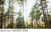 pine trees growing in coniferous forest. Стоковое видео, видеограф Syda Productions / Фотобанк Лори