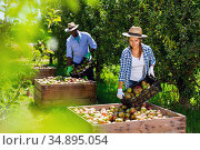 Successful female farmer engaged in picking of pears in orchard, laying harvested fruits in wooden boxes. Стоковое фото, фотограф Яков Филимонов / Фотобанк Лори
