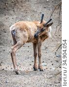The fawn looking back with curiosity. Стоковое фото, фотограф Сергей Фролов / Фотобанк Лори
