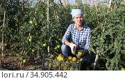 Female farmer with box of ripe tomatoes on the farm plantation. Стоковое видео, видеограф Яков Филимонов / Фотобанк Лори