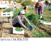 Workwoman gathering crop of fresh dill on vegetable plantation. Стоковое фото, фотограф Яков Филимонов / Фотобанк Лори