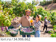 Happy farmer couple with box of ripe mangoes in orchard. Стоковое фото, фотограф Яков Филимонов / Фотобанк Лори