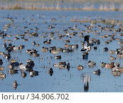 Northern lapwing (Vanellus vanellus) flying over Wigeon (Anas penelope) and Common Teal (Anas crecca) resting on largely flooded marshy pastureland, RSPB... Стоковое фото, фотограф Nick Upton / Nature Picture Library / Фотобанк Лори