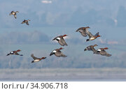 Wigeon (Anas penelope) flock and two Common teal (Anas crecca) flying over the Severn Estuary, Gloucestershire, UK, January. Стоковое фото, фотограф Nick Upton / Nature Picture Library / Фотобанк Лори