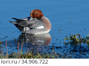 Wigeon (Anas penelope) drake preening Catcott Lows National Nature Reserve, Somerset, UK, January. Стоковое фото, фотограф Nick Upton / Nature Picture Library / Фотобанк Лори